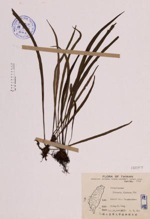 Vittaria flexuosa Fée_標本_BRCM 4083