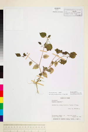 Physalis pubescens L._標本_BRCM 6008