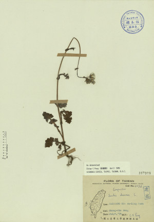 Sonchus oleraceus L._標本_BRCM 3975