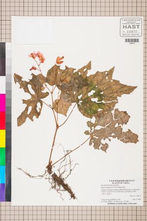 裂葉秋海棠標本_BRCM 2795